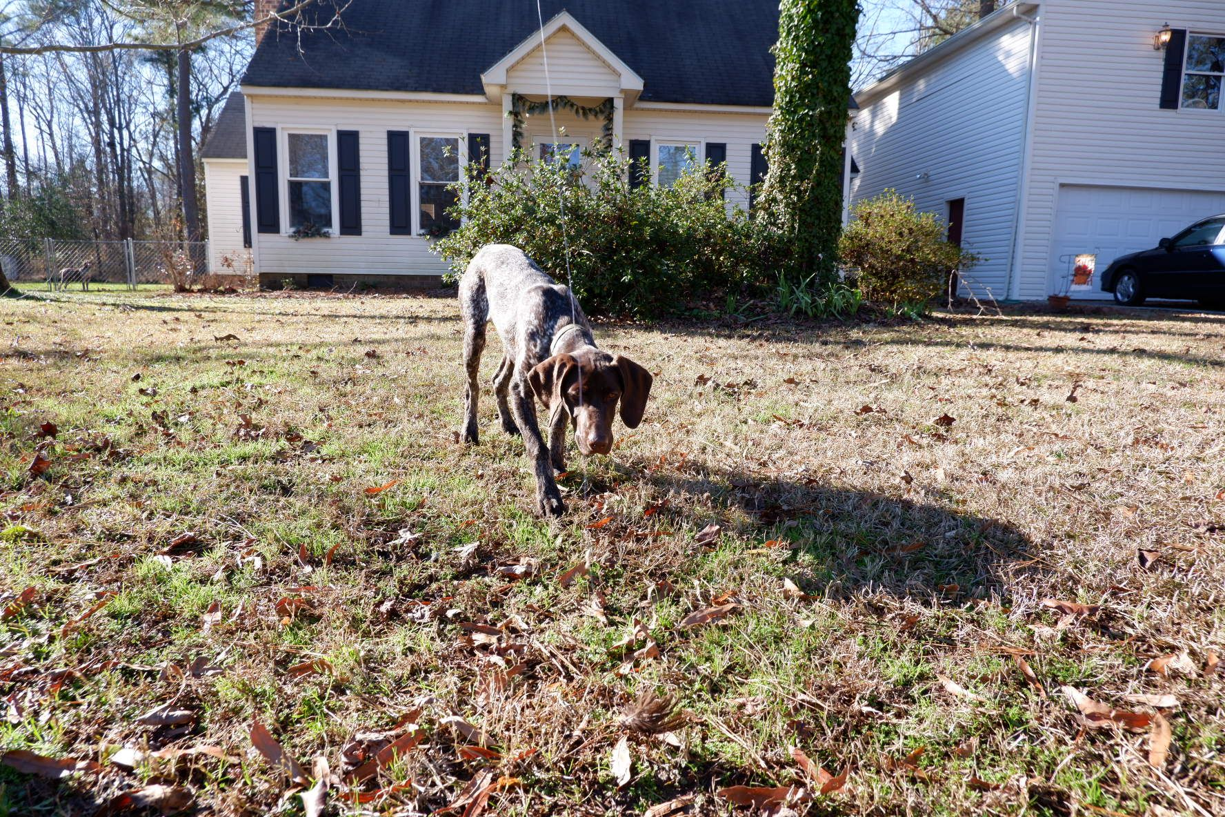 German Shorthaired Pointer Puppy Pepper On Point Training Begins
