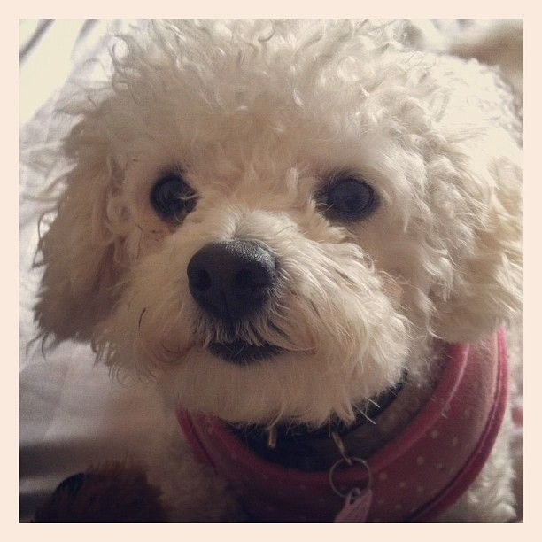 Bolognese Dog Maisy