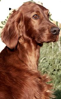 Irish Spirit Of Nature Irish Setter Welpen Hunde Setter Hund