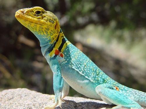 Lizard close up
