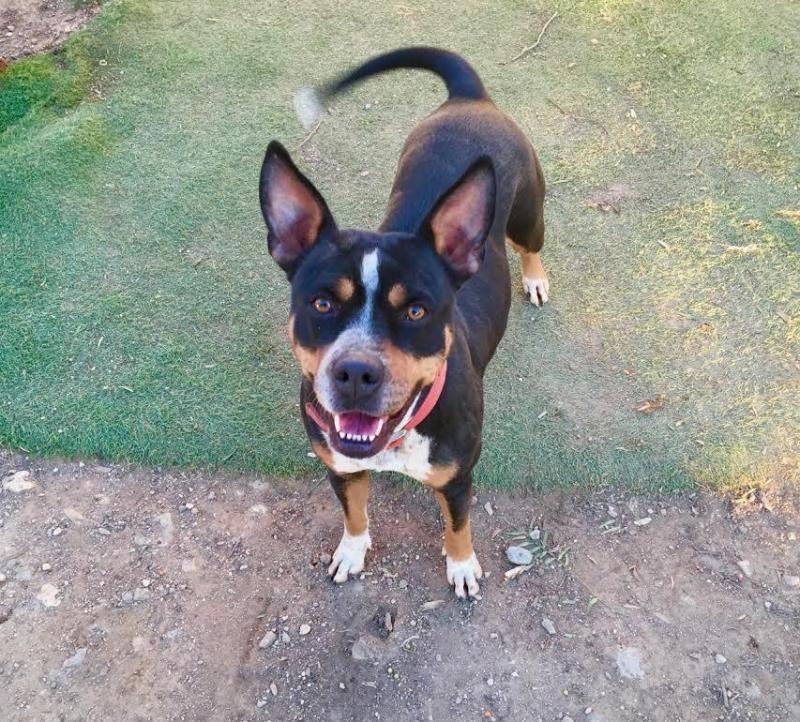 Adopt Shelly On Dog Breeds Pets Adoption