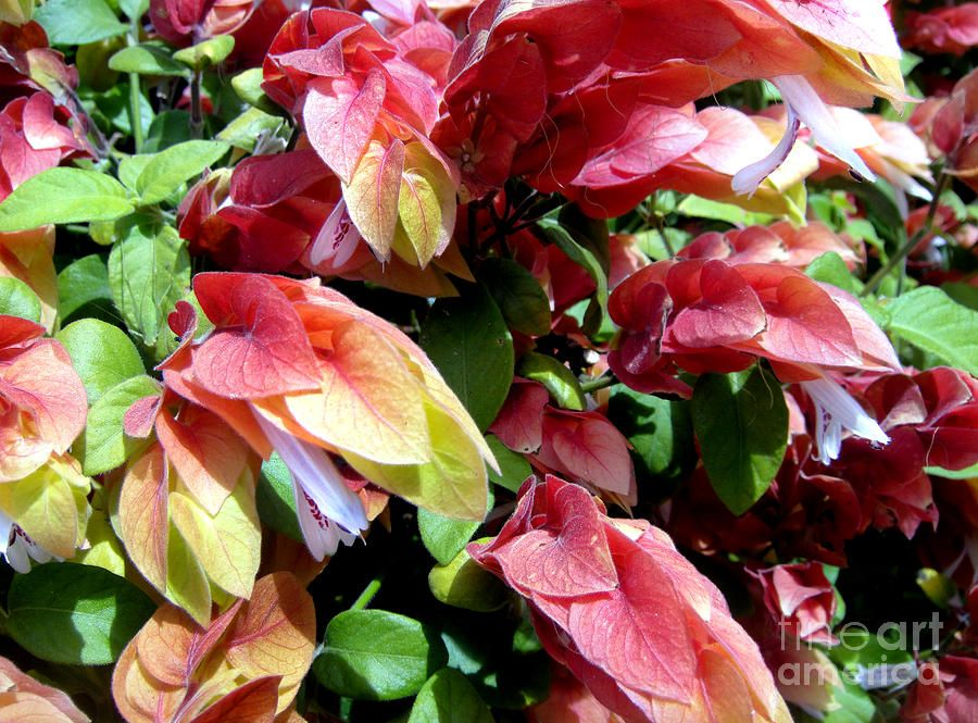 Red Shrimp Plant With Flowers And Green Leaves By Sofia Metal