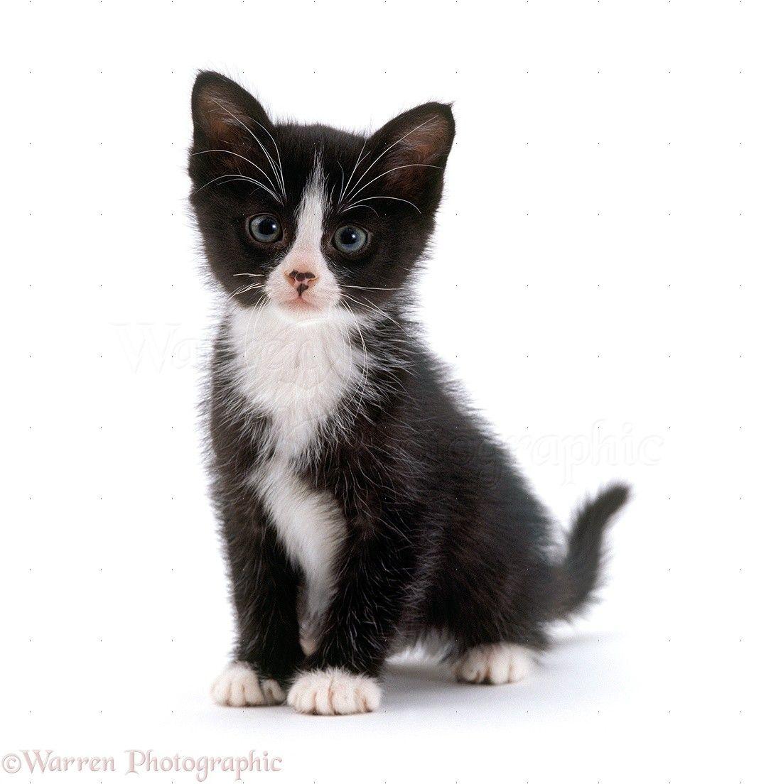 Black White Kitten Black And White Kittens Popular Cat Breeds White Cat Breeds
