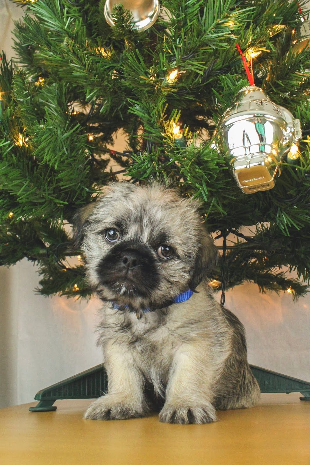Andreas Open Book Christmas Puppy Pug Shitzu Pugzu Mix