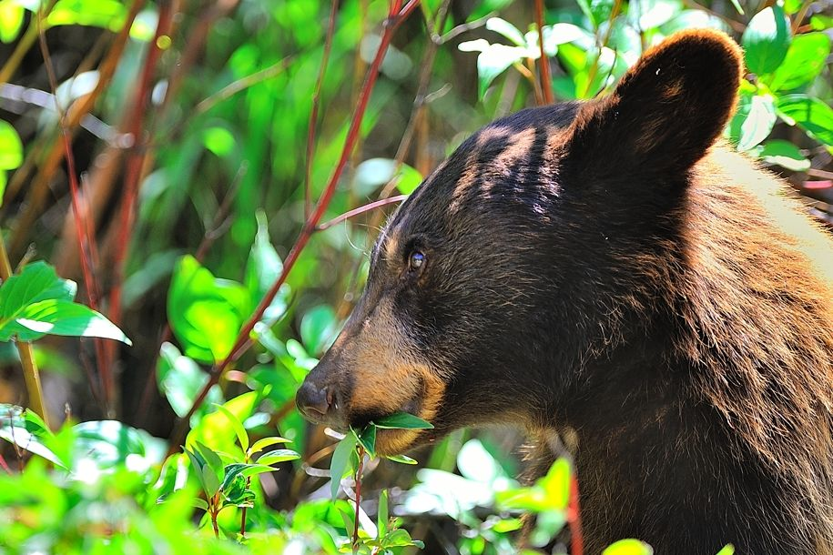 Juvenile Colorado Black bear taking in a veggie snack... that's right, a black bear not brown- though admittedly having a Brittany Spears blonde mane.