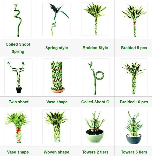 Dracaena Lucky Bamboo Collections With Images Lucky Bamboo