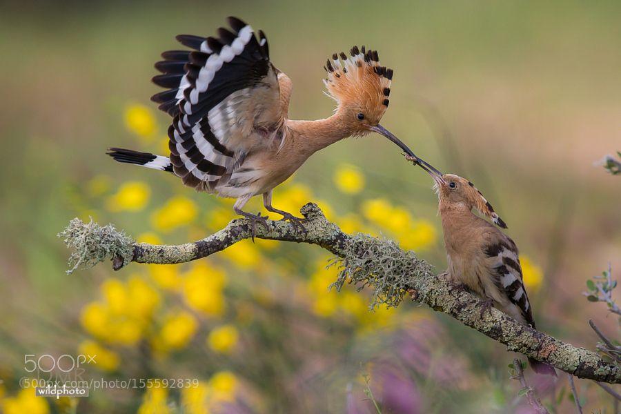 Hoopoe feeding by dmromanos via http://ift.tt/25kwyFJ