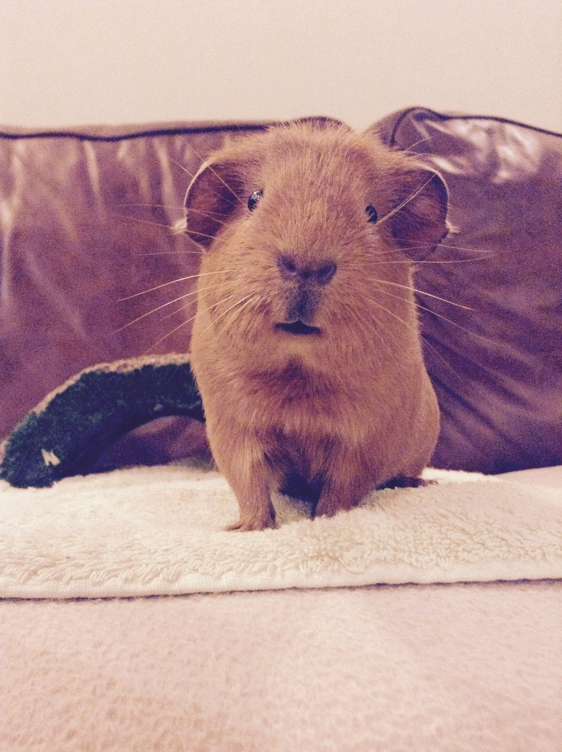Pin On Important Guide To Guinea Pigs