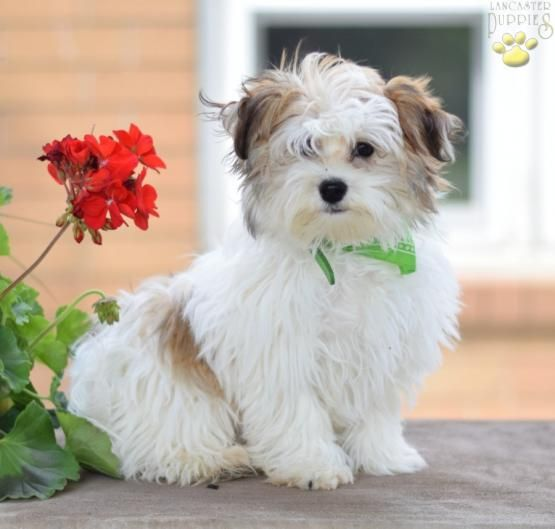 Jammy Havanese Puppy For Sale In Millersburg Oh Lancaster Puppies Havanese Puppies For Sale Puppies For Sale Havanese Puppies