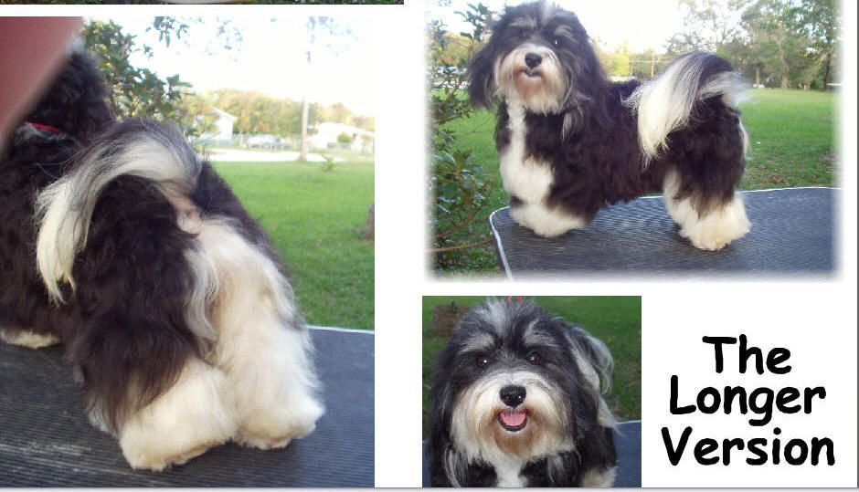 Havanese Intelligent And Funny Havanese Puppies Havanese Havanese Dogs