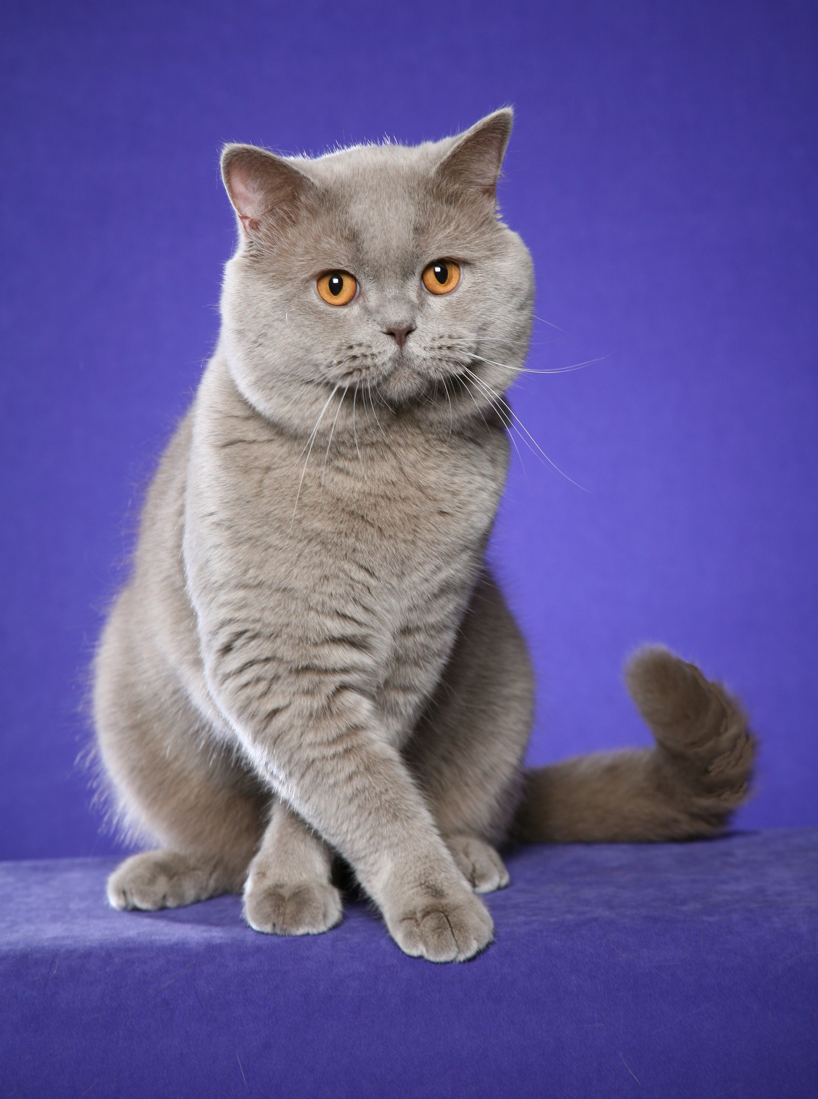 Regional Winner Supreme Grand Champion Rejinald Lilac Prince Lilac British Shorthair Male Photo Credit British Shorthair Cats Cats And Kittens Fancy Cats