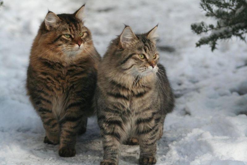 Resultat De Recherche D Images Pour Siberien Chat De Siberie Siberien Chat