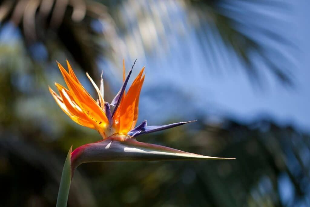 Incredible Meaning And Symbolism Of Bird Of Paradise Flower Florgeous Birds Of Paradise Plant Tattoo Incredible Meaning And Symbolism Of Bird Of Paradise Flo In 2020