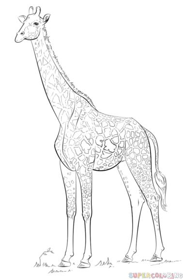 Kleurplaten Wilde Dieren Afrika How To Draw A Realistic Giraffe Step By Step Drawing