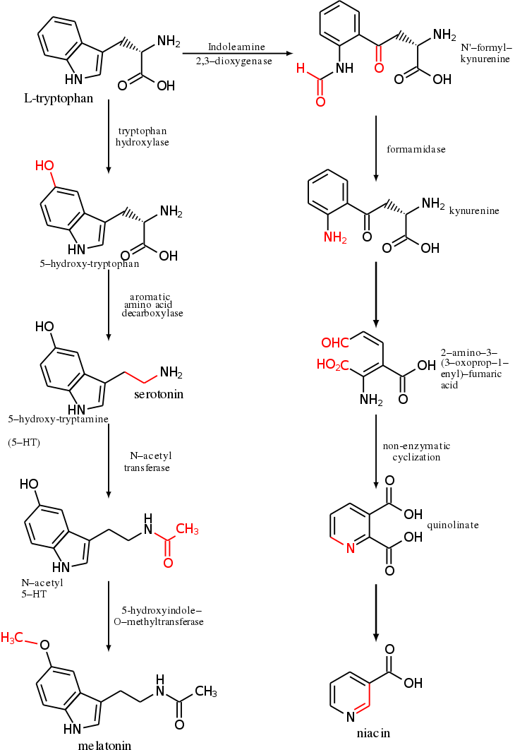 Metabolism Of L Tryptophan Into Serotonin And Melatonin Left And Niacin Right Trans Organic Chemistry Study Organic Chemistry Reactions Chemical Structure