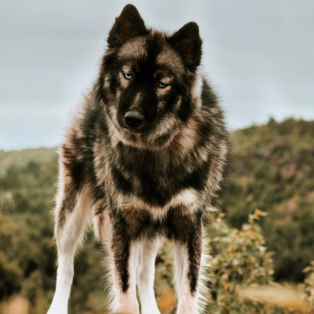 Siberian Husky Dogs, Siberian husky, Agouti husky