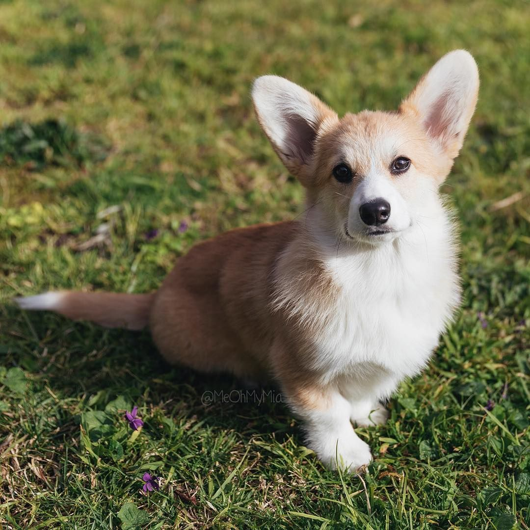 Pin By T On Corgi Corgi Cute Corgi Corgi Pembroke