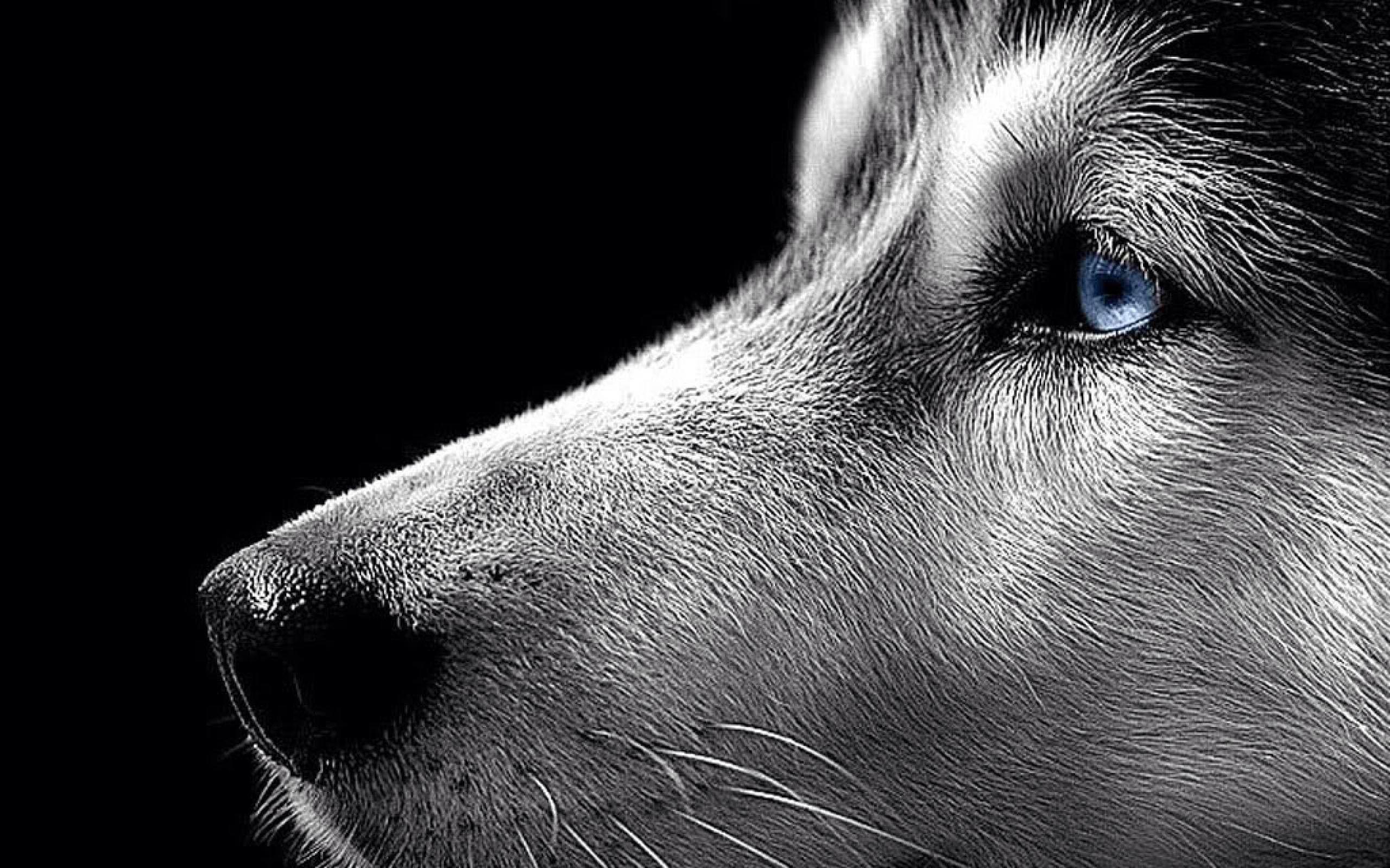 Wallpaper Husky Lover Siberian Husky Dog White Siberian