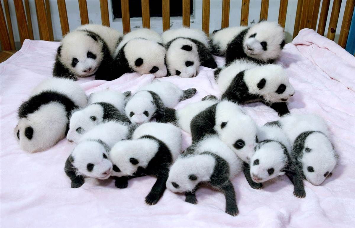Fourteen new giant panda cubs lie in a crib at the Chengdu Research Base of Giant Panda Breeding in southwestern China's Sichuan Province on...