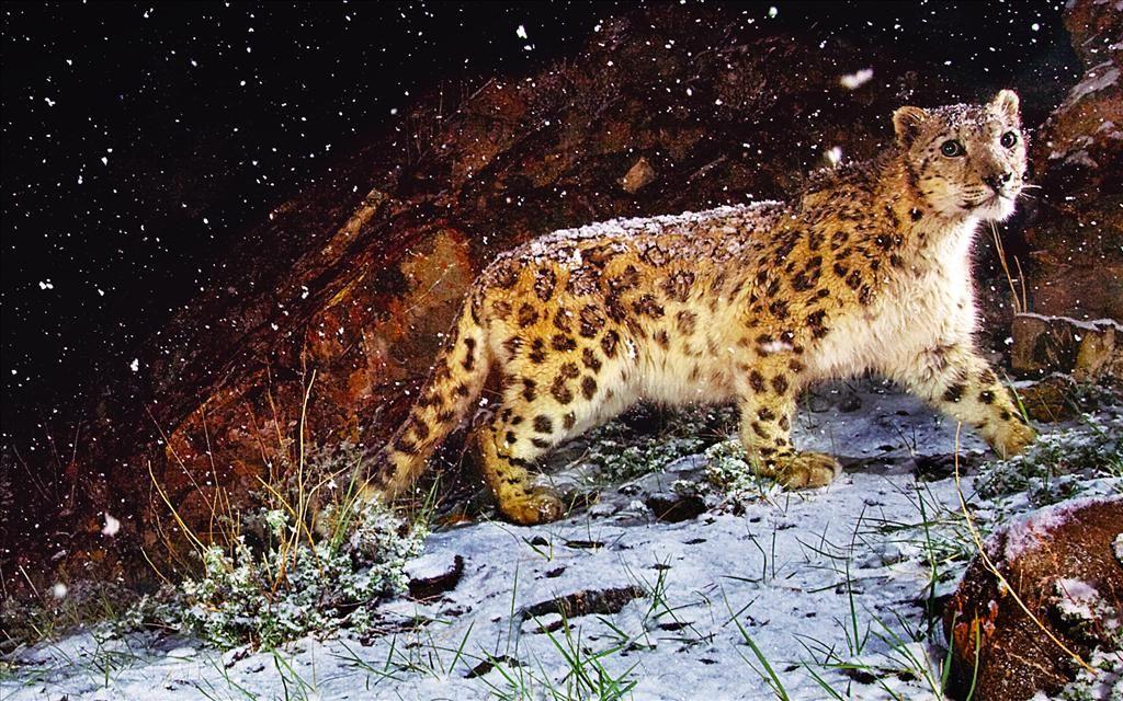 Fond D Ecran Leopard Des Neiges Sous La Neige Snow Leopard Wallpaper Leopard Wallpaper Snow Leopard