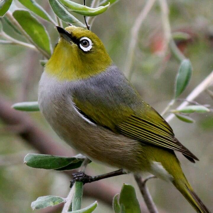 Australian bird, we get these in our garden, they are lovely