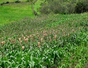 The first to know maize