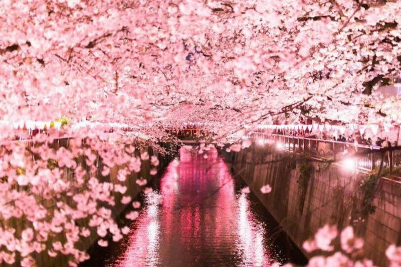 Gambar Bunga Sakura Yg Indah Cantiknya Bunga Sakura Di Jepang Pada Malam Hari Bagai Di Dalam Bak Musim Semi Di Nege Di 2020 Bunga Sakura Fotografi Alam Pemandangan