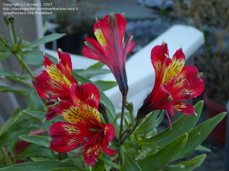 Plantfiles Pictures Alstroemeria Peruvian Lily Lily Of The Incas Inca Adore Alstroemeria 2 By Ecrane3 Peruvian Lilies Lily Pictures Alstroemeria