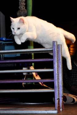 Top Five Gifs From The Amazing Acro Cats Show Cats Funny Cats Cat Health Problems