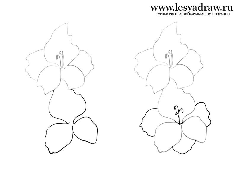 How To Draw A Gladiolus With A Pencil Flower Drawing Gladiolus Gladiolus Flower