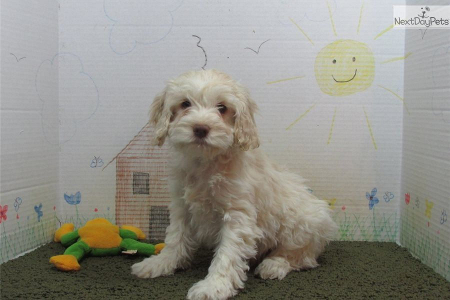 Ellie Cockapoo Puppy For Sale Near Springfield Missouri