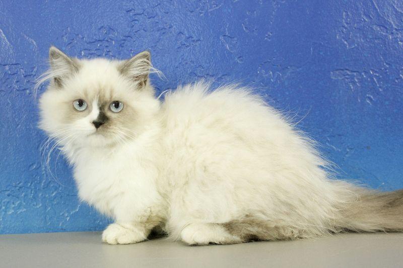Minuet cat from wwwragdollkittenus munchkin kitten