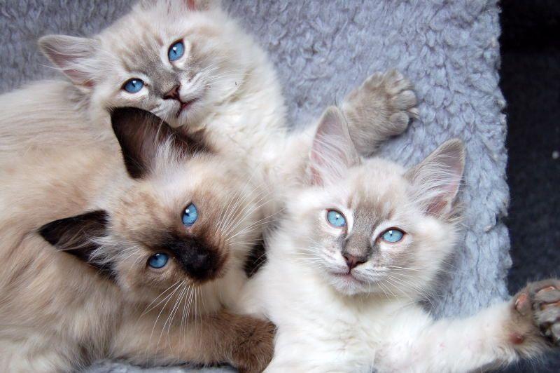 Two Blue Lynx Ragdoll Boys Gorgeous Cats Cute Cats Kittens Cutest