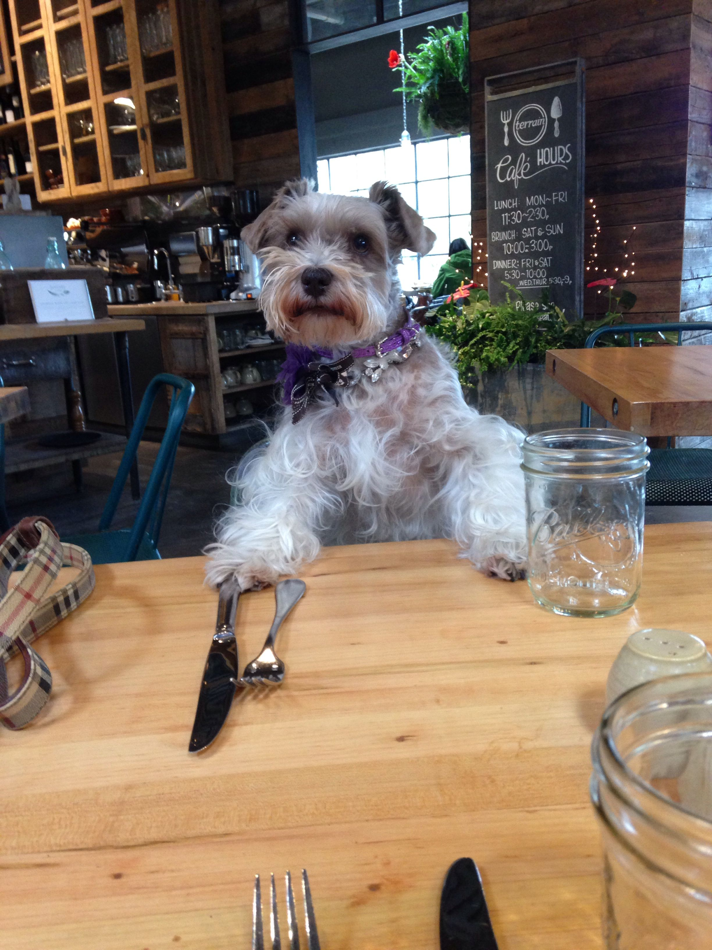 Violet my schnauzer joins me for lunch at Terrain of