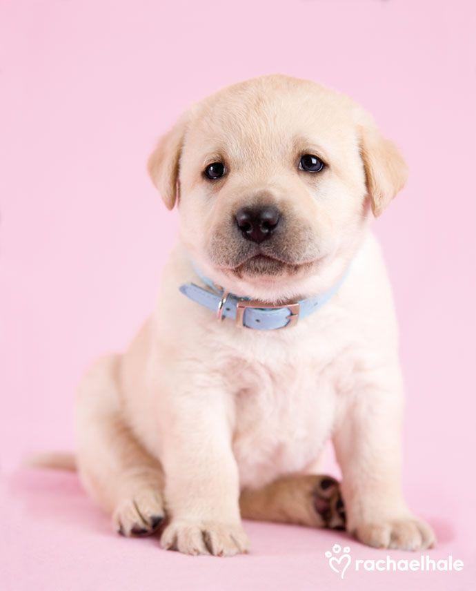 Anakin (Labrador) - Anakin is an affectionate friend (pic by Rachael Hale)