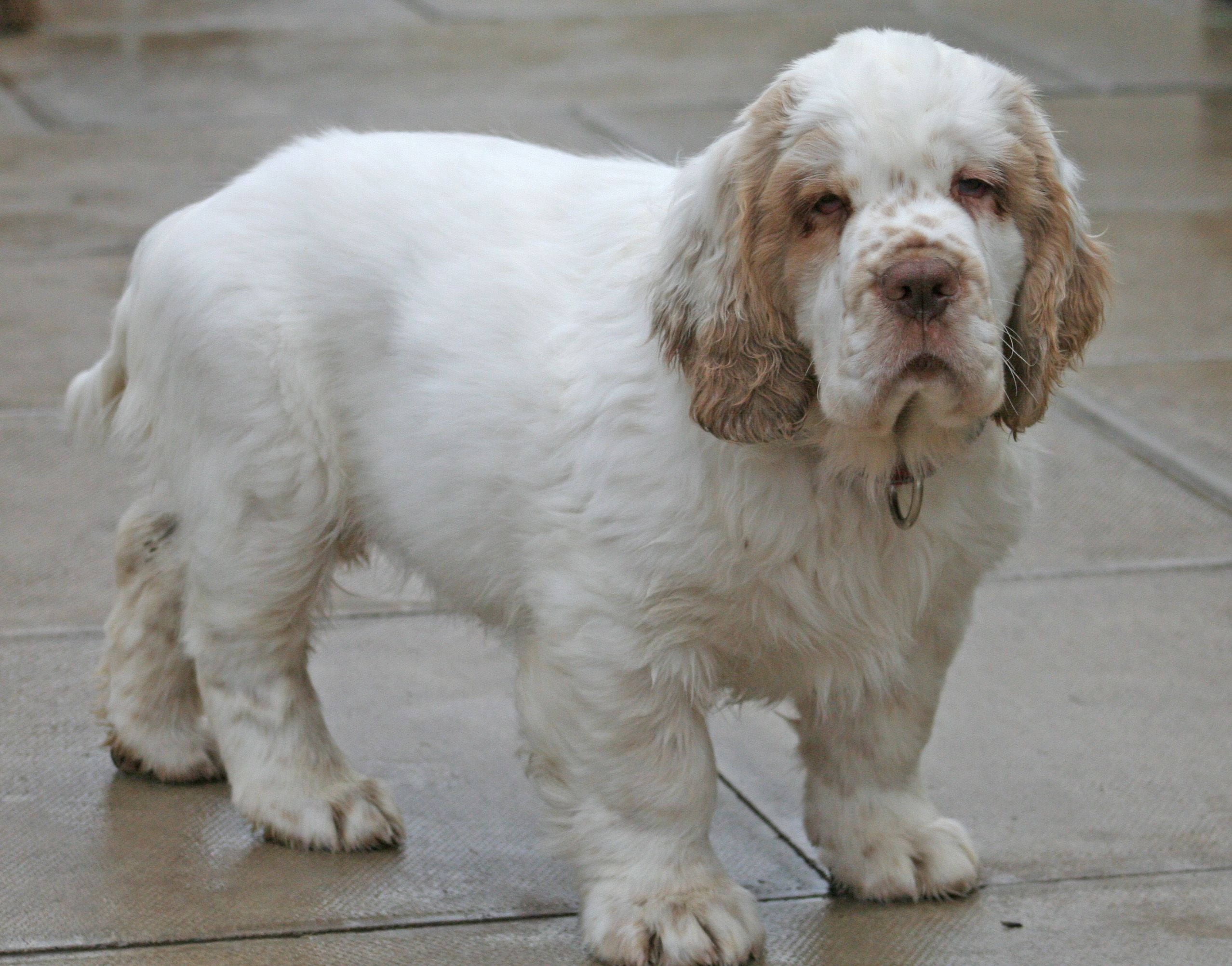 Clumbers, like many breeds, may have hip dysplasia and