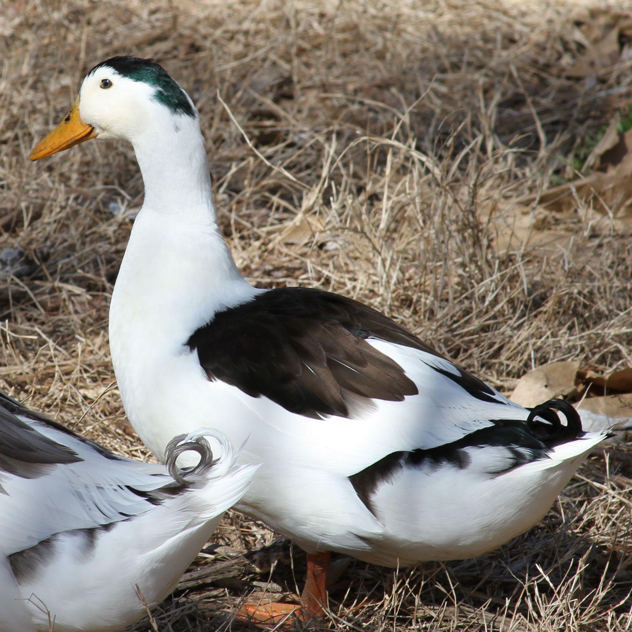 Magpie Ducks