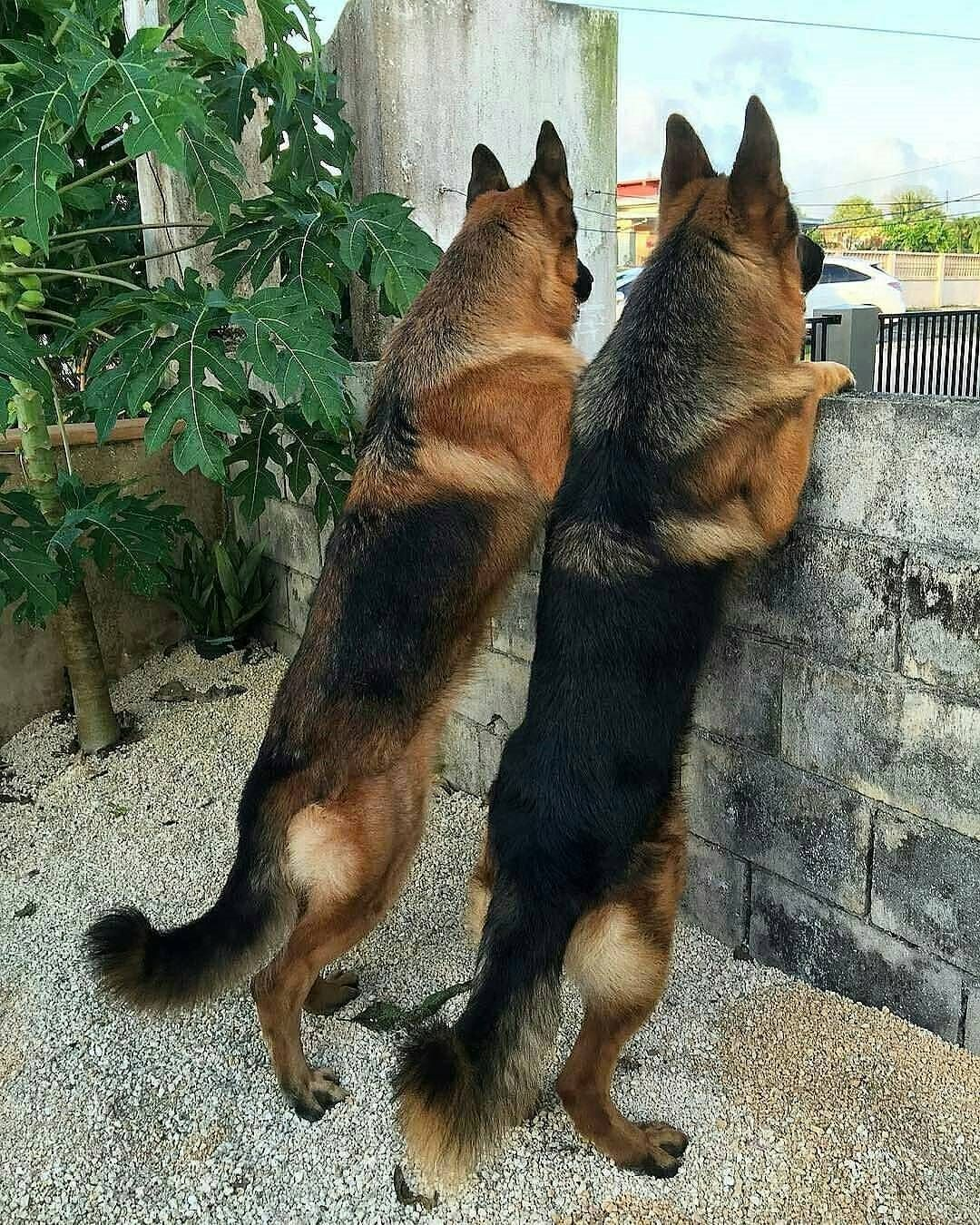 13 5 K Mentions J Aime 39 Commentaires German Shepherd Gsd