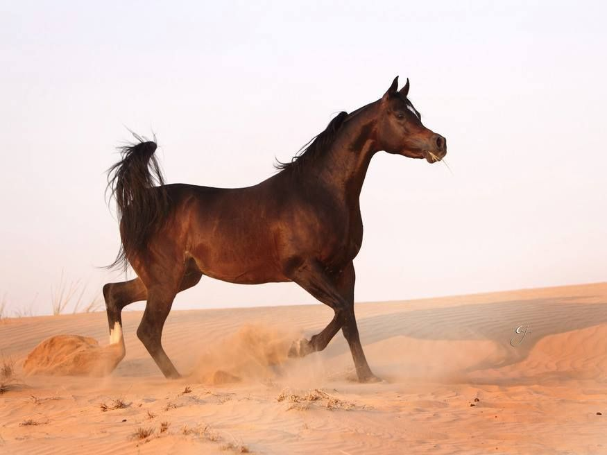 Royal Colours True Colours X Xtreme Wonder Photo By Glenn Jacobs Arabian Horse Horses Royal Colors