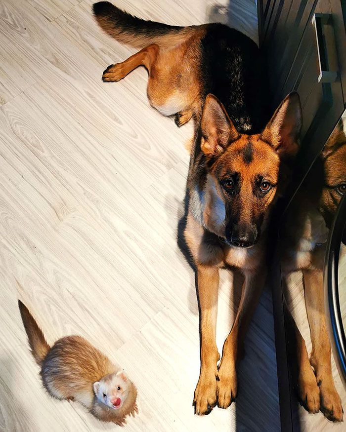 Nova the German Shepherd and Pacco the ferret have been
