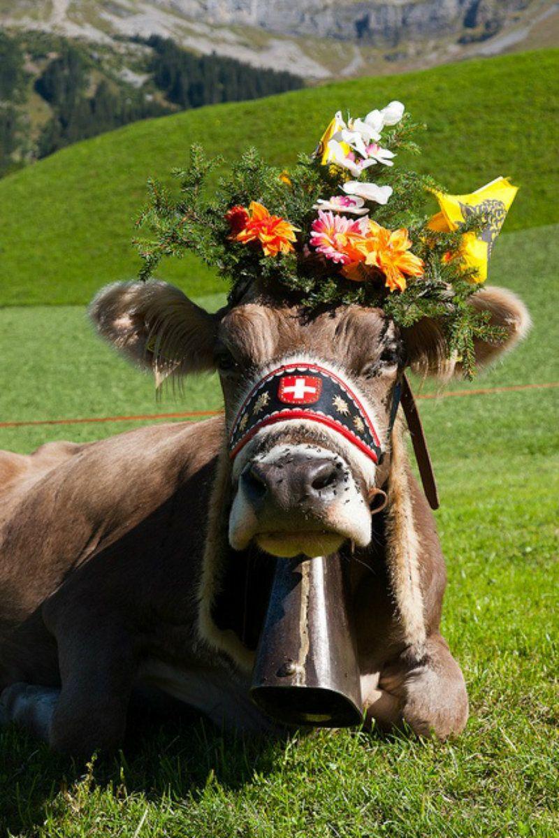 Vache suisse dans le canton d'Uri Animals beautiful, Cow
