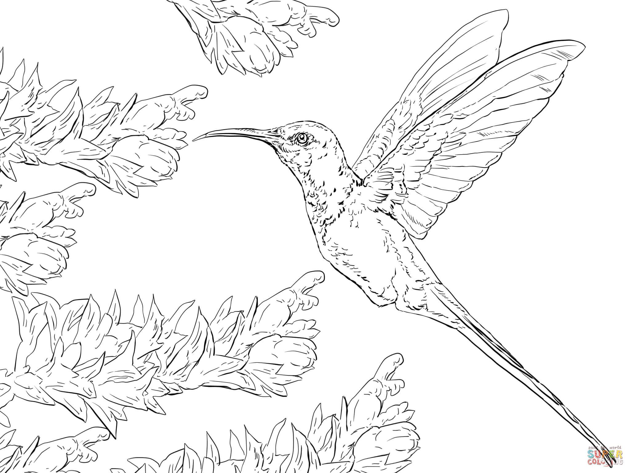 Coloring pages for donna flor - Swallow Tail Hummingbird Coloring Page From Hummingbirds Category Select From 24848 Printable Crafts Of Cartoons Nature Animals Bible And Many More
