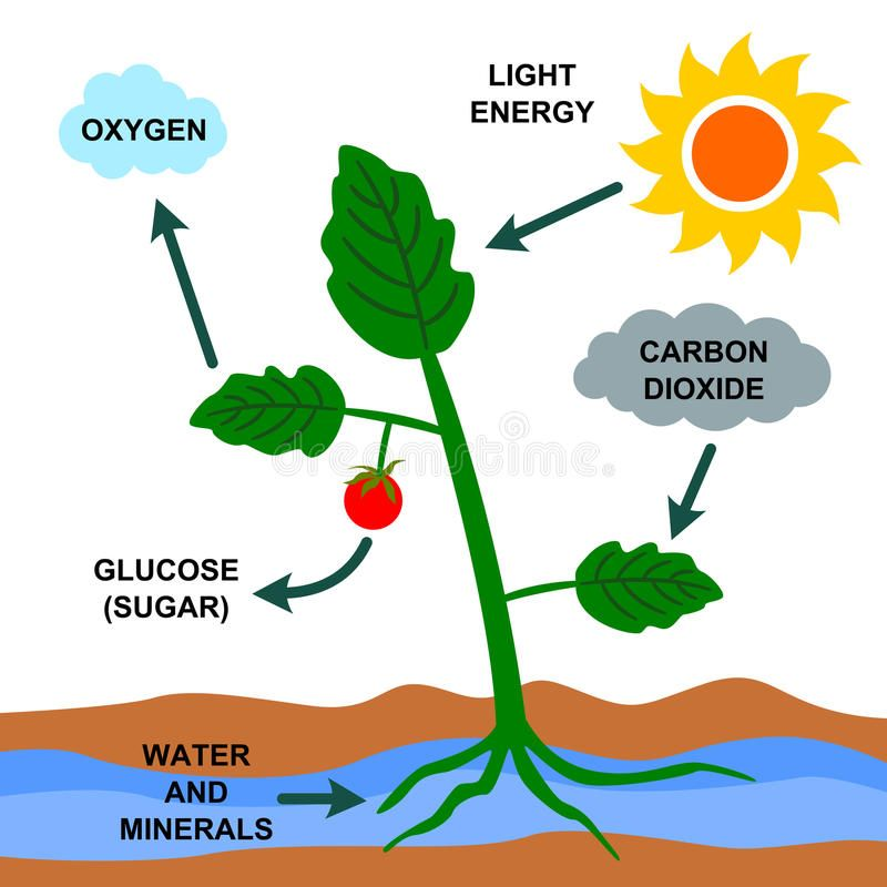 Photosynthesis A Cartoon Illustration About The Photosynthesis Process Ad Cartoon Pho Photosynthesis Plants Science Experiments Photosynthesis Projects