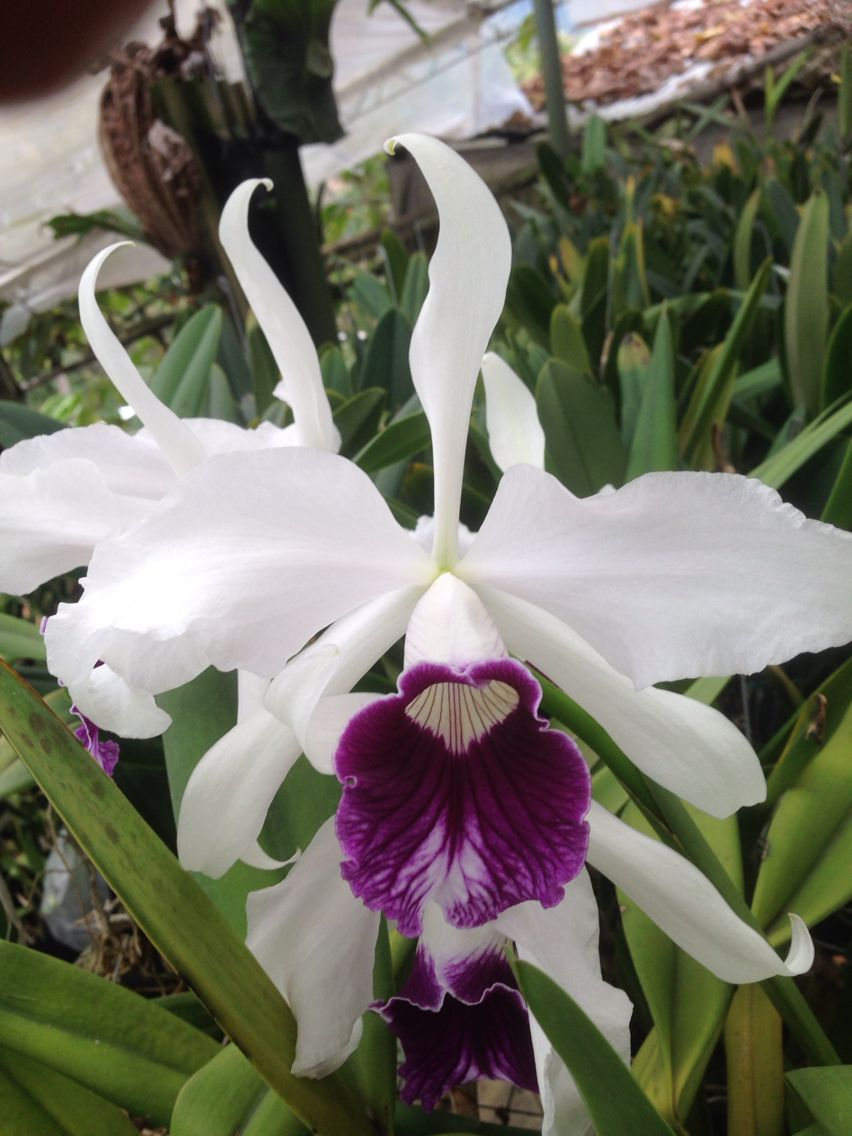 Laelia purpurata fiori pinterest exotic plants orchid and
