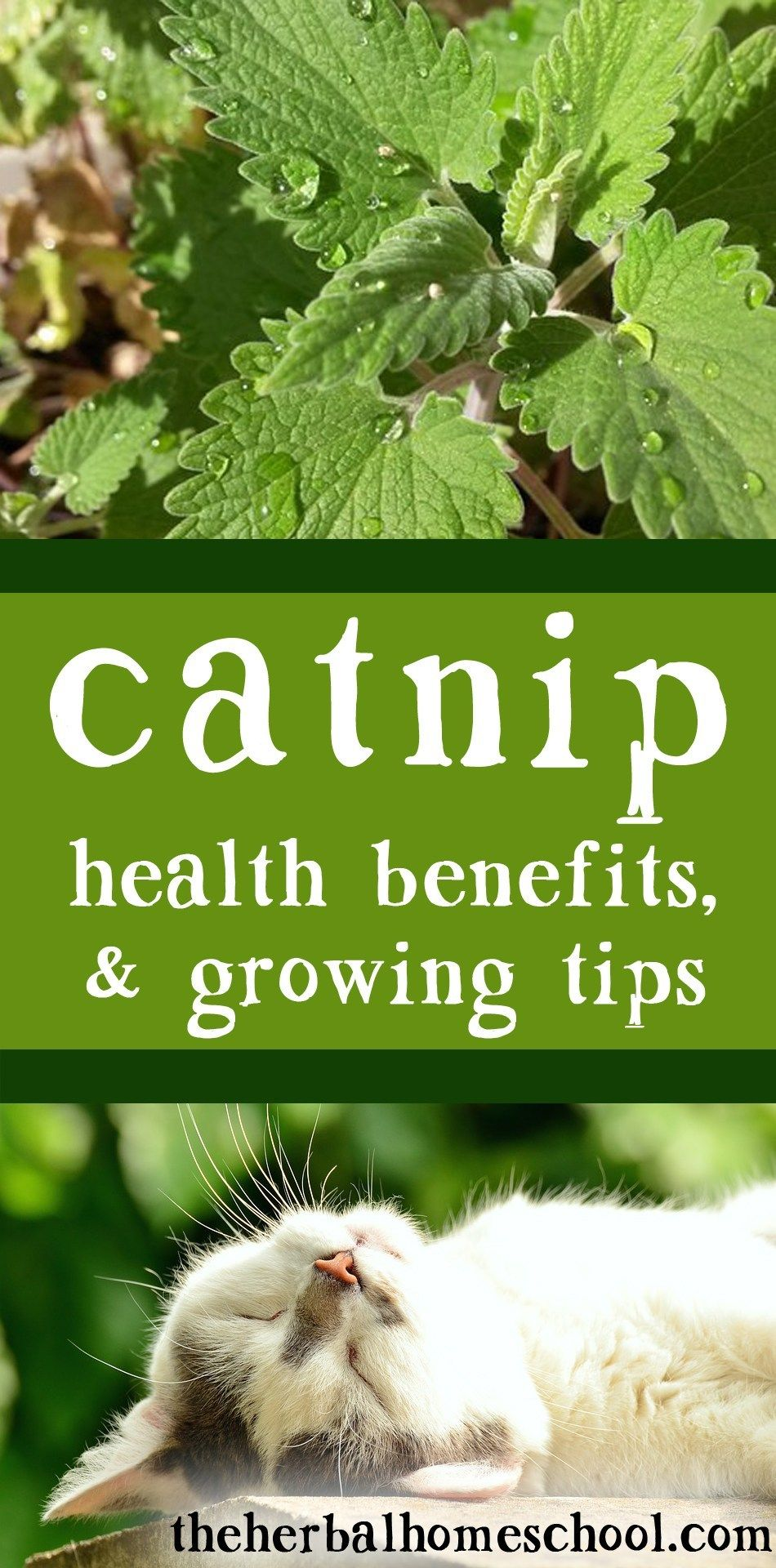 Catnip; Health Benefits & Growing Tips (With images