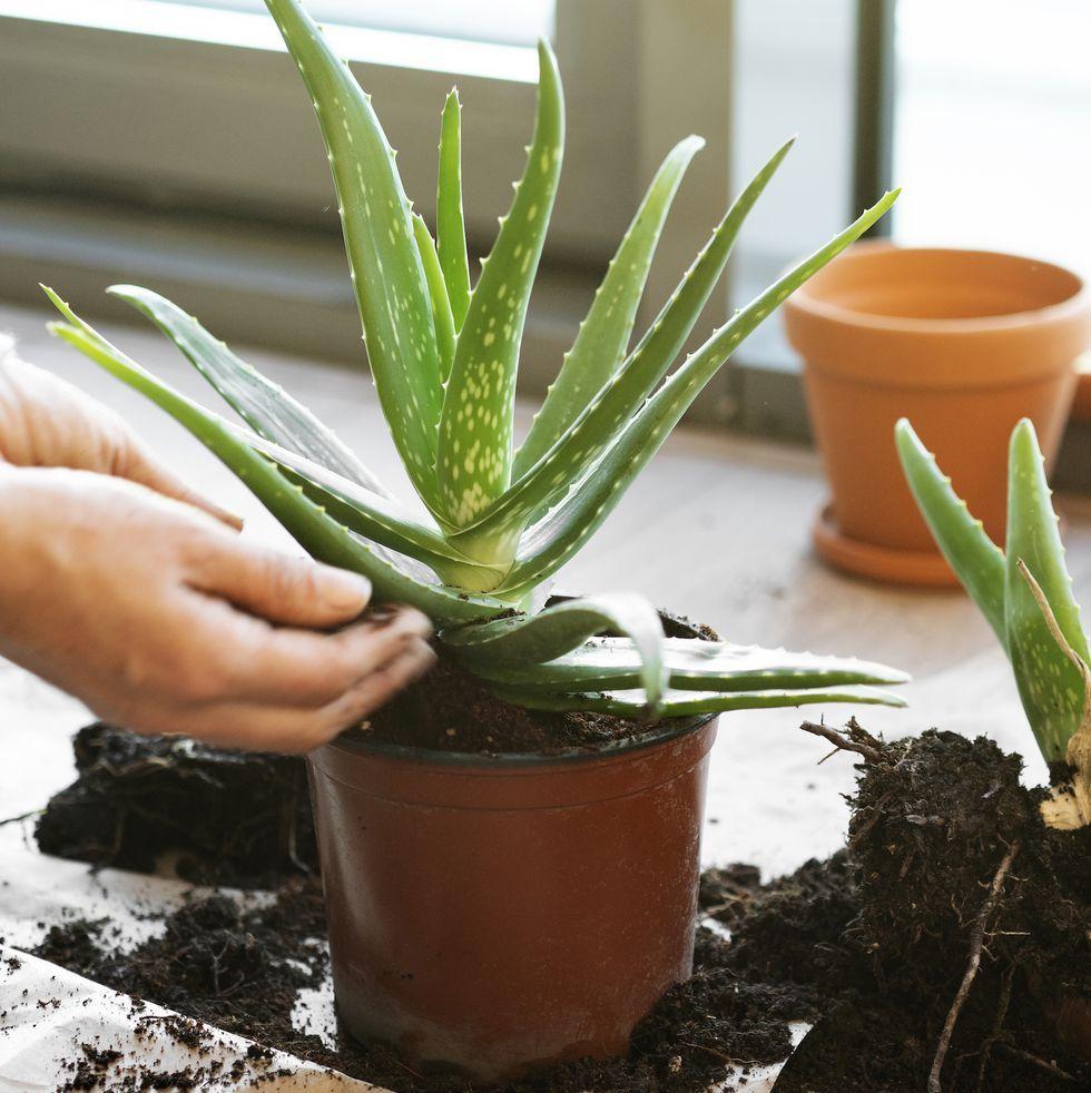 Grow Your Own Aloe Plant, Successfully Soothe Sunburn All ...