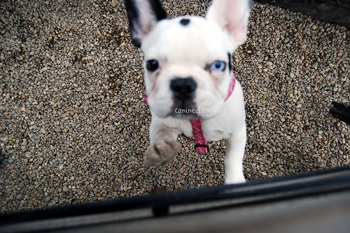 Canined Black White French Bulldog Puppy Dog Pictures Us Nyc 16
