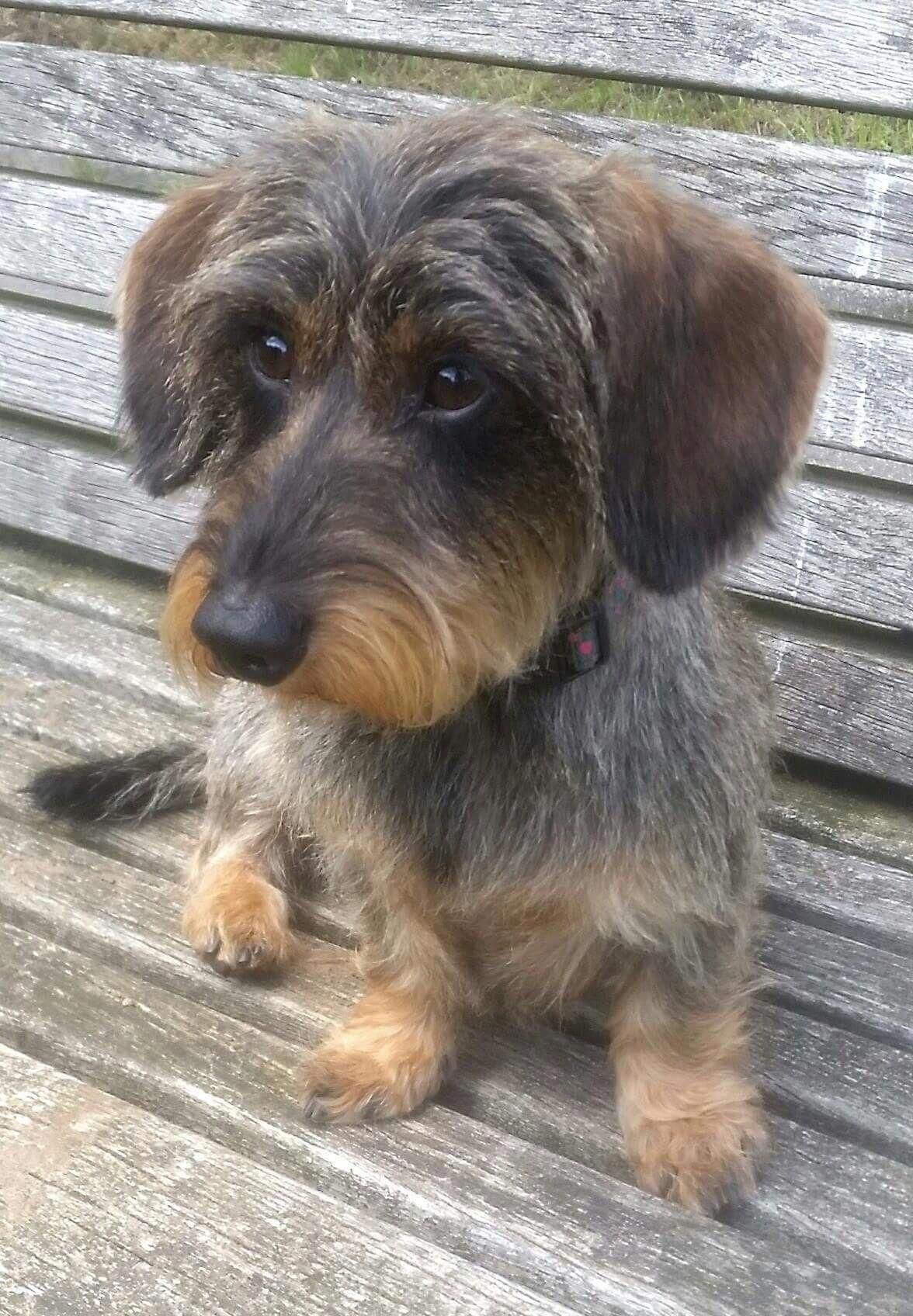 Dachshund Friendly And Curious Wire Haired Dachshund