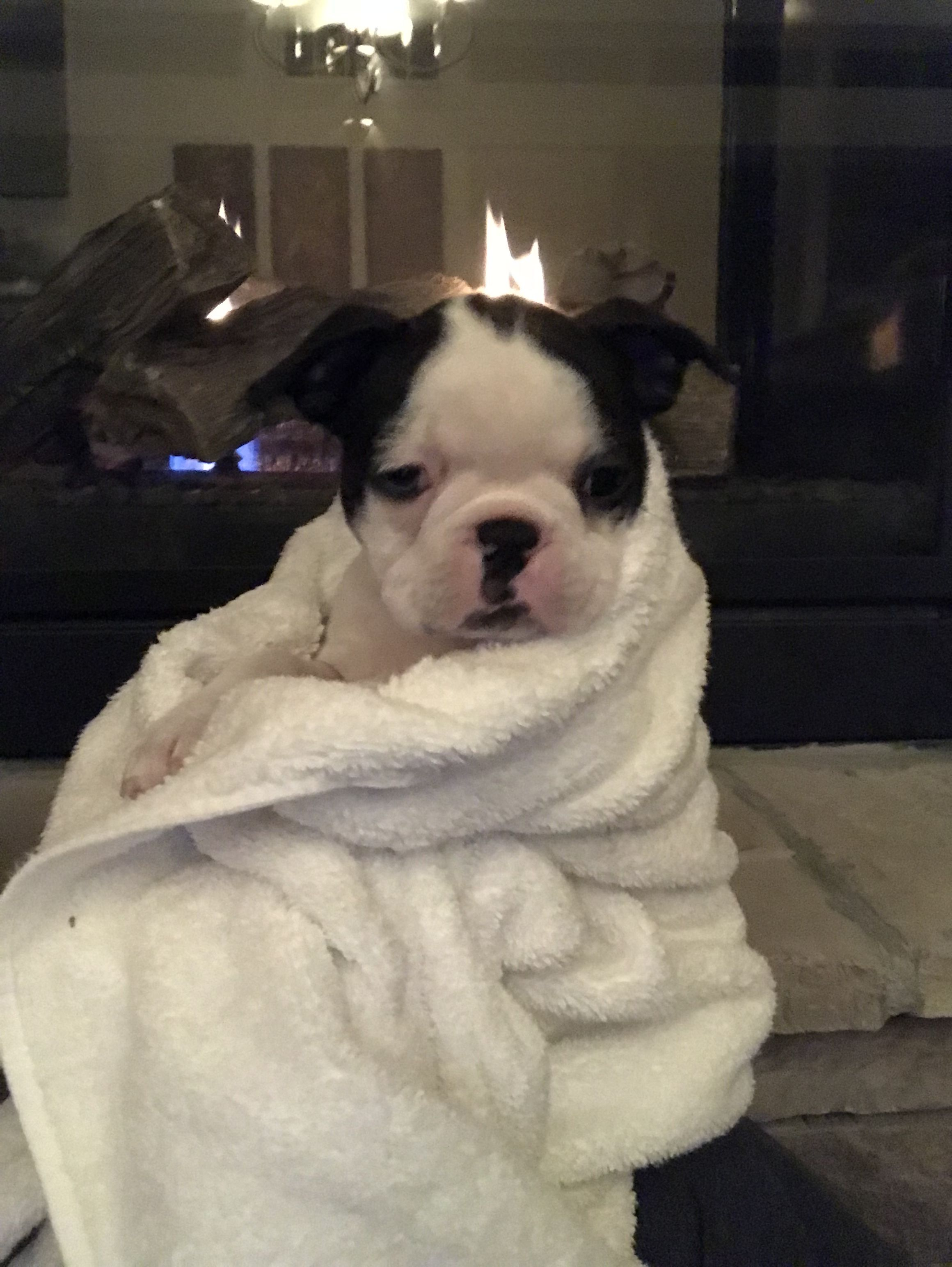 My First Bath Nine Week Old Boston Terrier Boston Terrier Dog