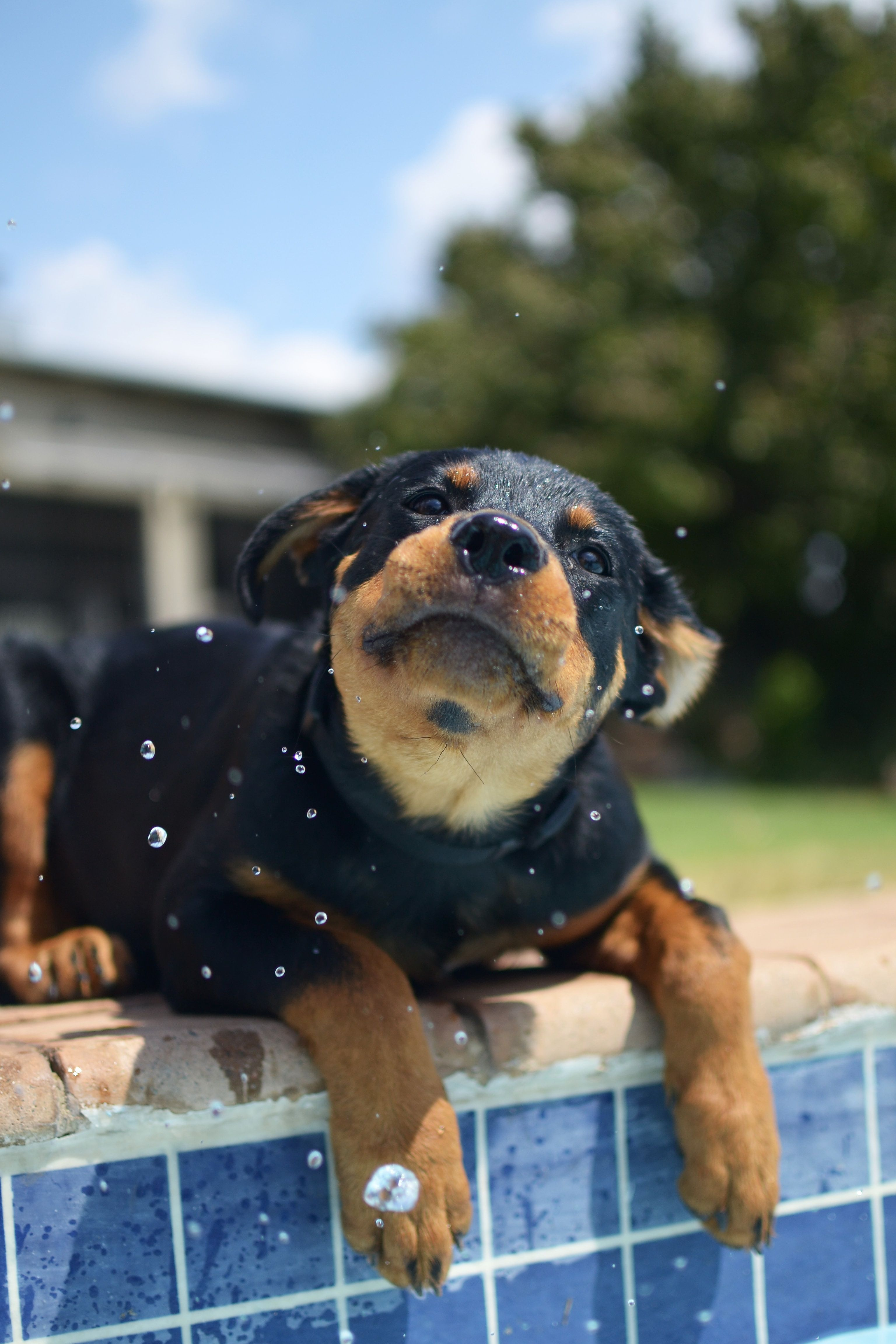 Dog Pool (With images) Dog pool, Rottweiler facts